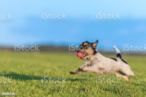 Dog with ball in his mouth is running across the meadow against a picture id993963182?b=1&k=6&m=993963182&s=612x612&h= fsjlogrsqhojh n wgwybzdbk2mlzw4ckp3bm ctla=