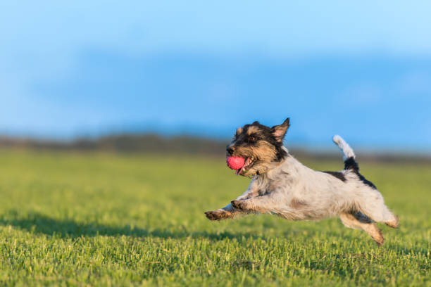 Dog with ball in his mouth is running across the meadow against a picture id993963182?b=1&k=6&m=993963182&s=612x612&w=0&h=kpn3f3u3cfakuktzirirzdhl1vdk3u64ulboabmmals=