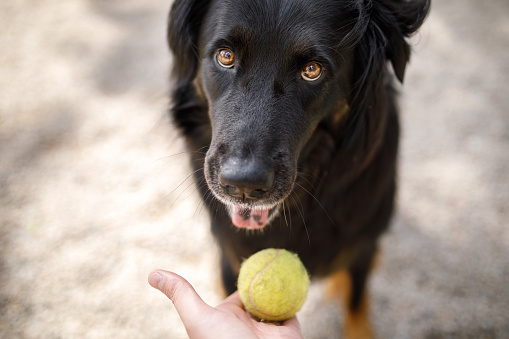 Hand held out with a tennis ball in front of a dog to train fetch.