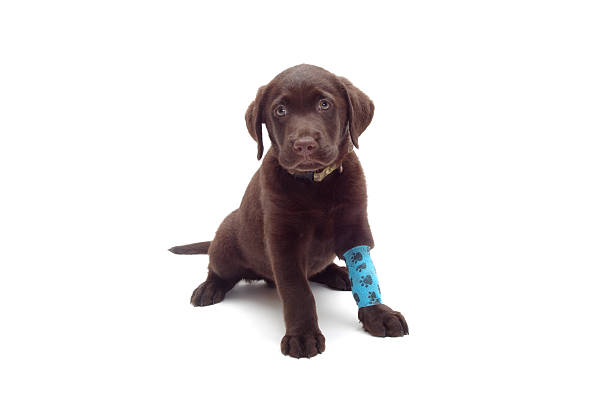 dog with bandaged broken leg – Foto