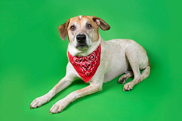 Dog with Bandanna stock photo