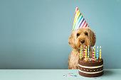 誕生日ケーキを持つ犬