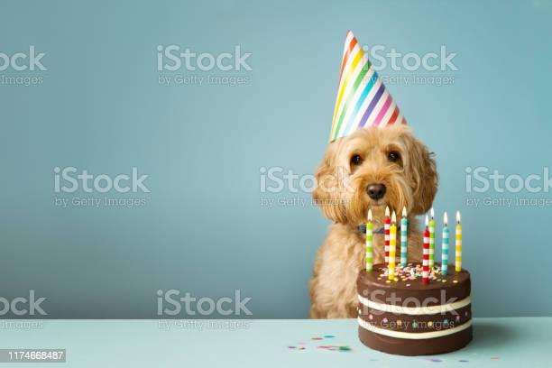 Dog with birthday cake picture id1174668487?b=1&k=6&m=1174668487&s=612x612&h=wqp0as87mdmvw2wz20bwutjh60 zlwdqlrvao5qqn8o=