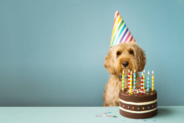 Dog with birthday cake Cute dog with party hat and birthday cake birthday background stock pictures, royalty-free photos & images