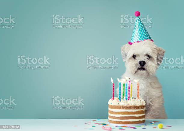 Dog with birthday cake picture id844175138?b=1&k=6&m=844175138&s=612x612&h=4tqcz7 n1arm9rhnagvkvbw tpma6oloxvodnqzc1hw=