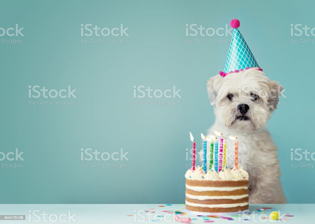 Dog with birthday cake stock photo