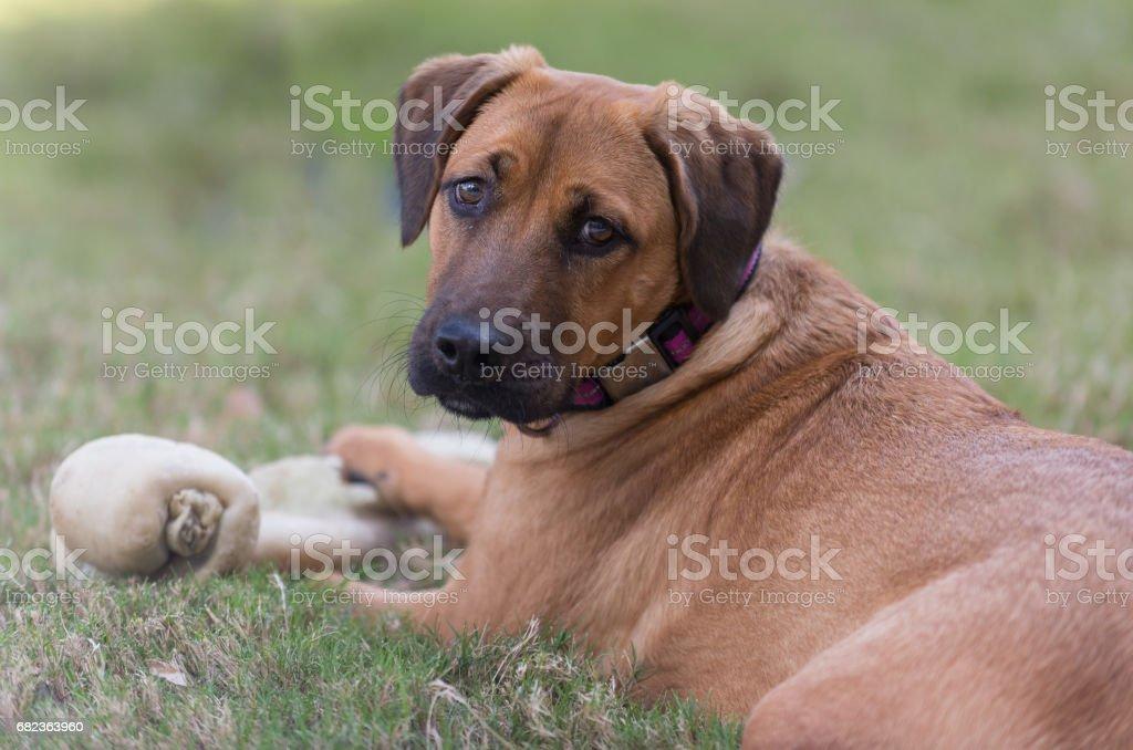 Dog with bone foto stock royalty-free