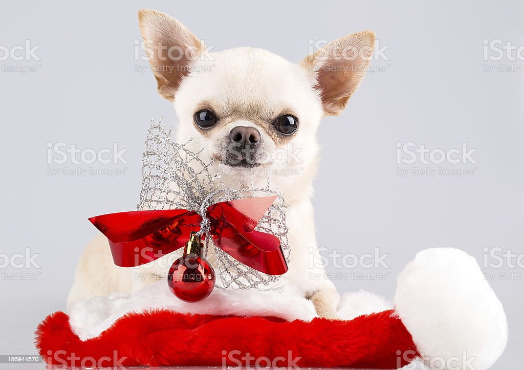 dog with bow royalty-free stock photo