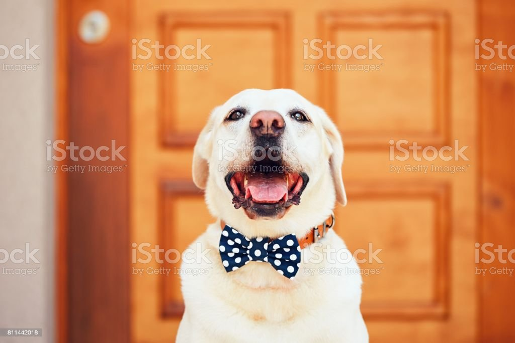 Dog with bow tie stock photo