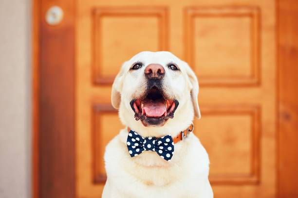 Dog with bow tie Dog with bow tie. Happy labrador retriever sitting in front of the house. bow tie stock pictures, royalty-free photos & images