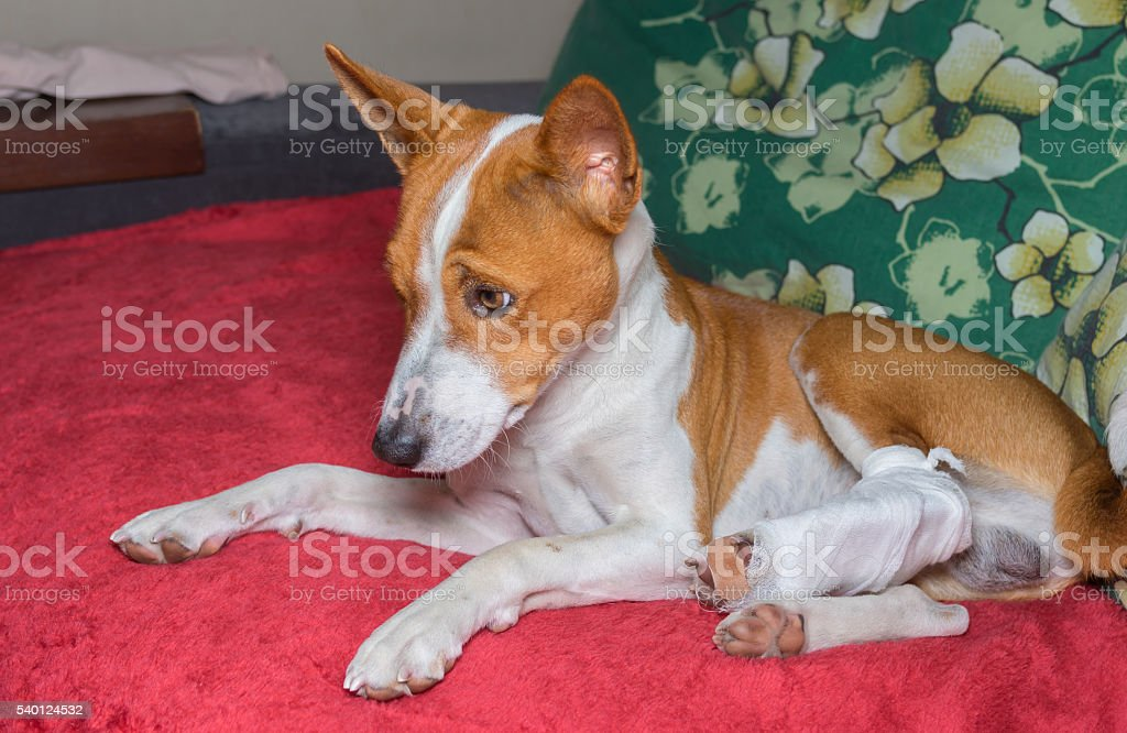 Dog with broken bandaged hind feet resting on a sofa stock photo