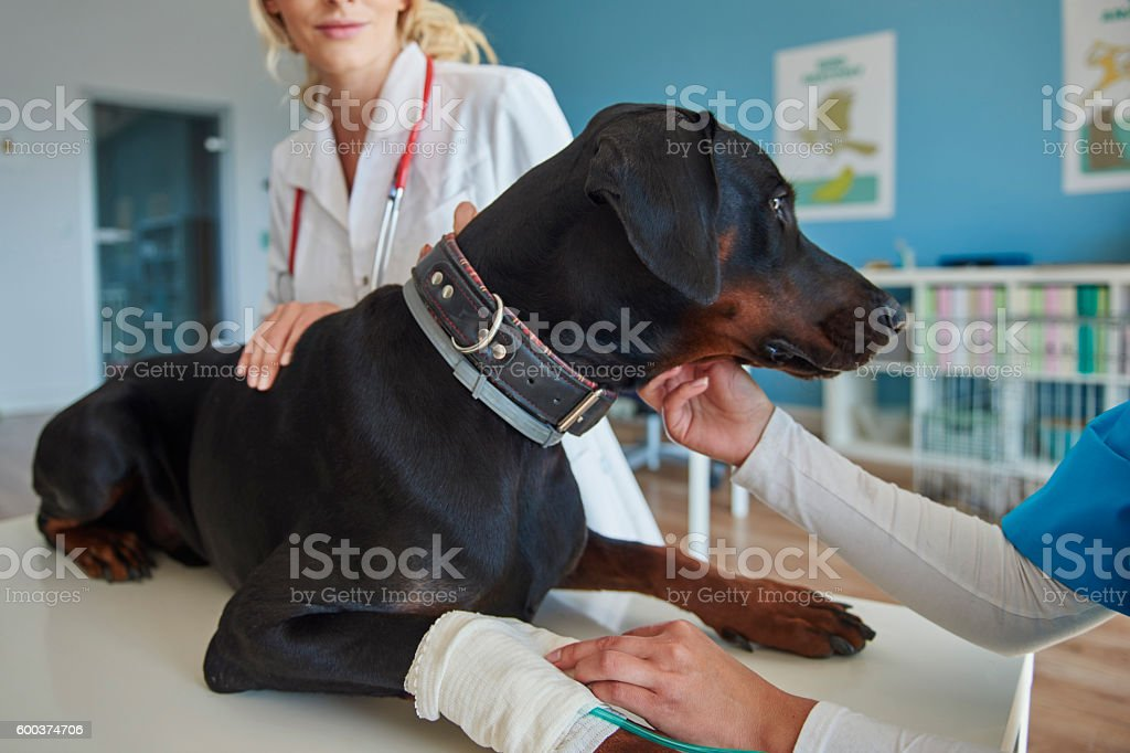 Dog with broken leg at the vet royalty-free stock photo