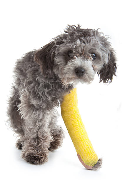 Dog with broken leg in a cast stock photo