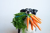 Dog with bunch of carrots in mouth. Portrait of cute black and white border collie.