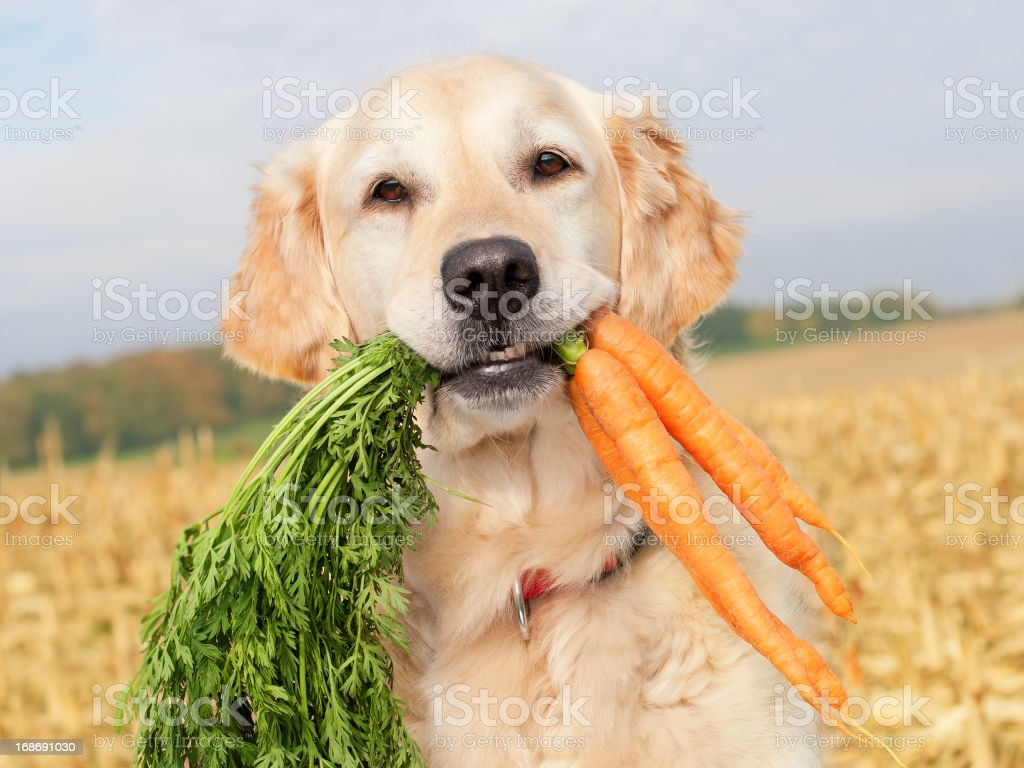 Dog with carrots royalty-free stock photo