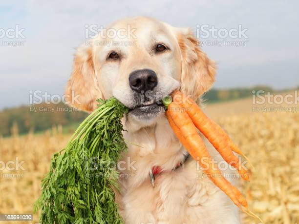 Dog with carrots picture id168691030?b=1&k=6&m=168691030&s=612x612&h=g 4d1ioo 2dm spaq cl1zr5q54kblkneaxztlnh xa=
