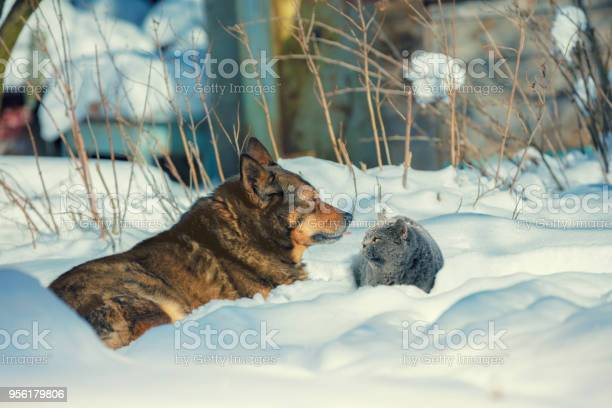 Dog with cat lying outdoors in the snow in winter cat and dog are picture id956179806?b=1&k=6&m=956179806&s=612x612&h=9l9a67ommdqv061isqtegas3x7h7 b43wcrmqphukji=