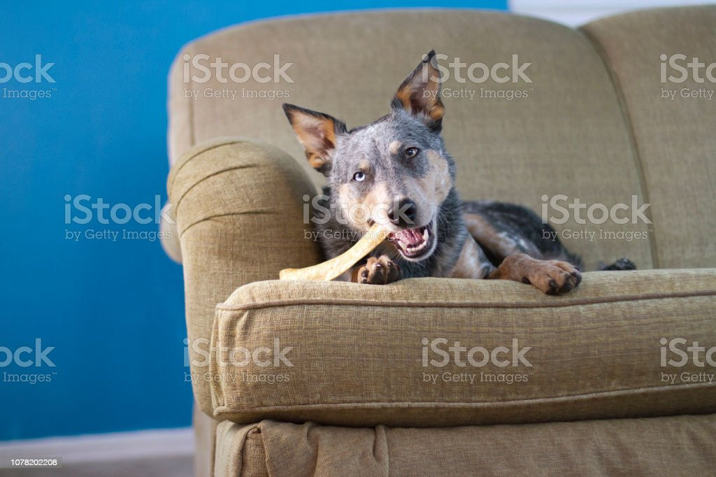 Dog With Chew Laying on Couch stock photo