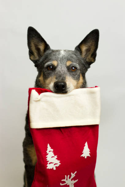 Dog with Christmas Stocking stock photo