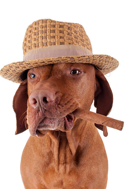 dog with cigar in mouth stock photo