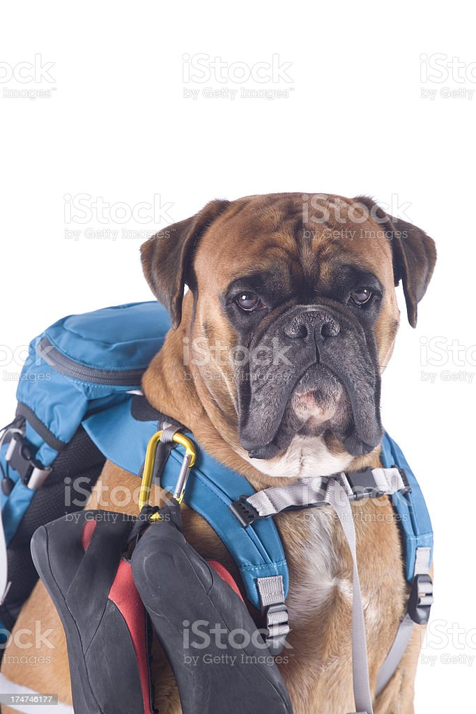 Dog with climbing equipment stock photo