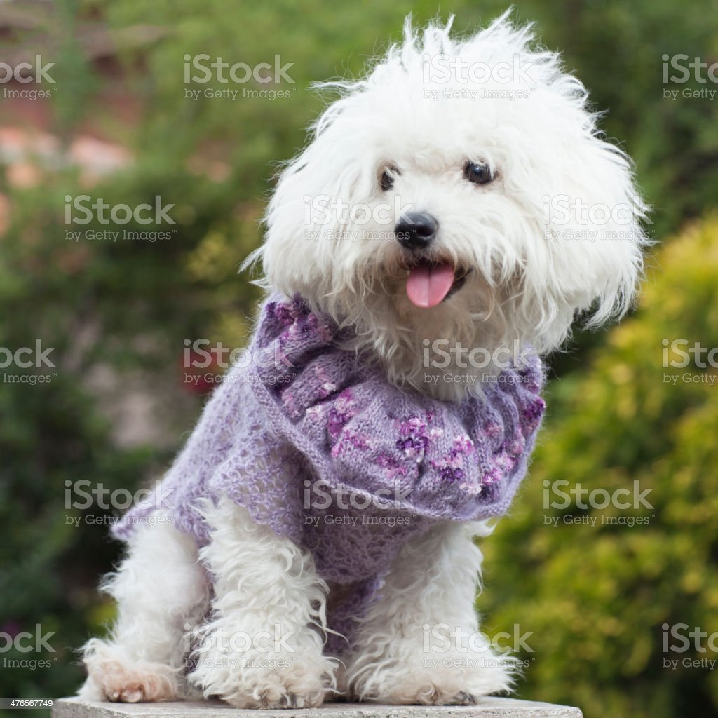 Dog with clothes stock photo