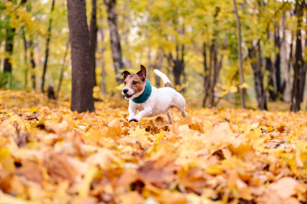 Dog with cozy scarf running through heap of colorful autumn leaves picture id939826304?b=1&k=6&m=939826304&s=612x612&w=0&h=u7j83p54hlhmukkkr0dpqpu8caz  dttuvpv6echy94=