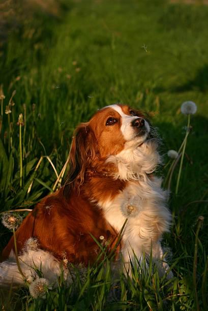 hund mit löwenzahn samen - kooikerhondje welpen stock-fotos und bilder
