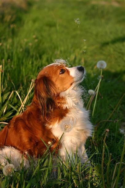 hund mit am rand - kooikerhondje welpen stock-fotos und bilder