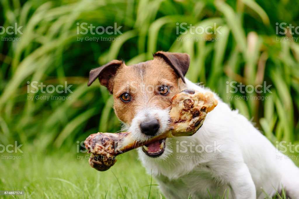Dog with delicious pet treat bone at garden lawn stock photo