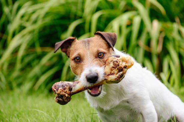 Perro con mascota delicioso tratar el hueso en el césped del jardín - foto de stock