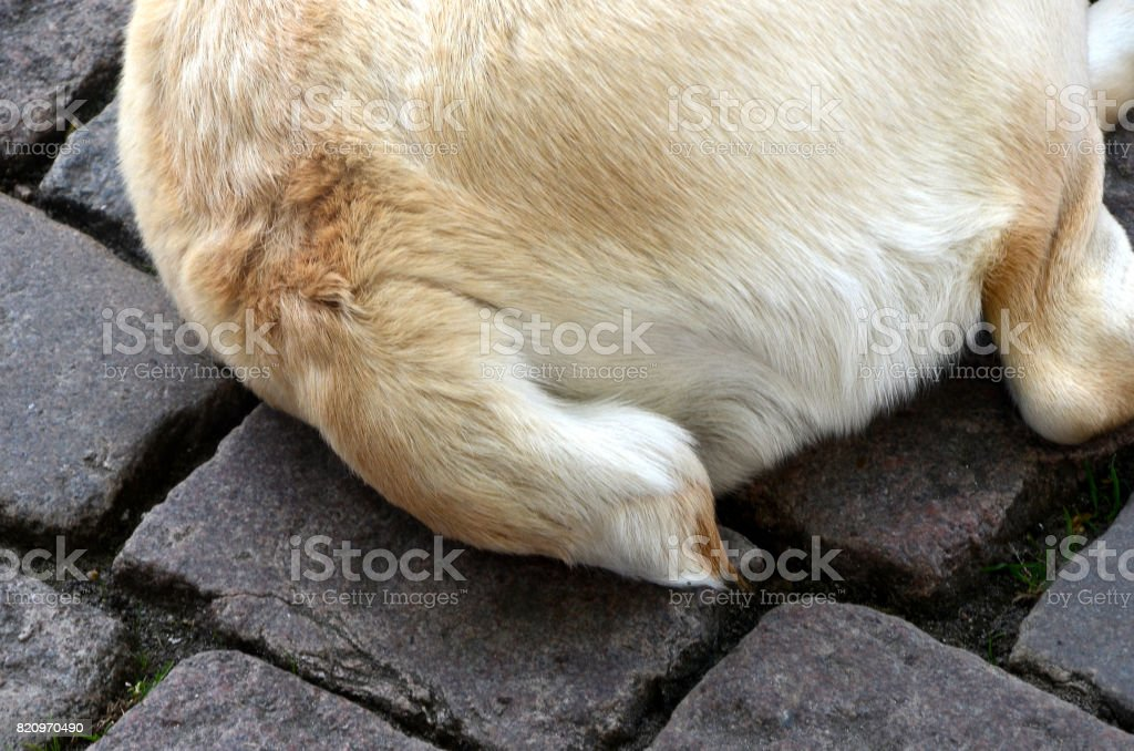Dog with docked tail stock photo