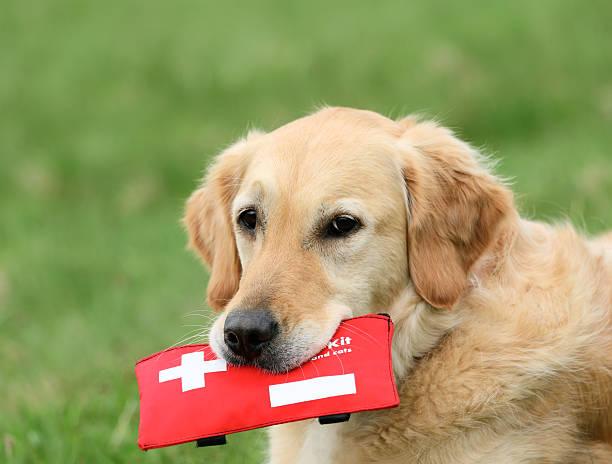 Dog with firstaidkit picture id93244792?b=1&k=6&m=93244792&s=612x612&w=0&h=elxy wklzrjgr4f10lhvb50xf6bis17tk6tc kg5wna=
