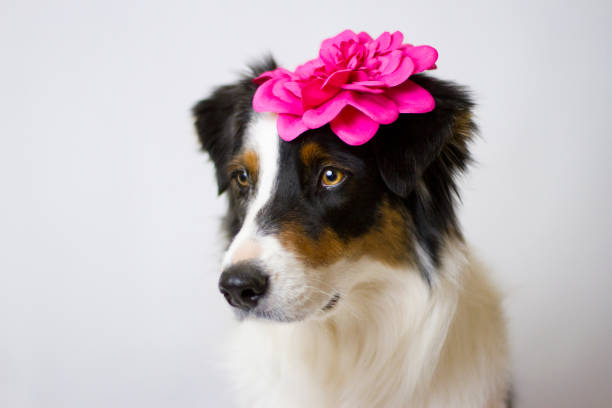 Dog with Flower Clip on Ear stock photo