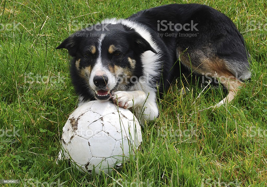 Dog with football royalty-free stock photo