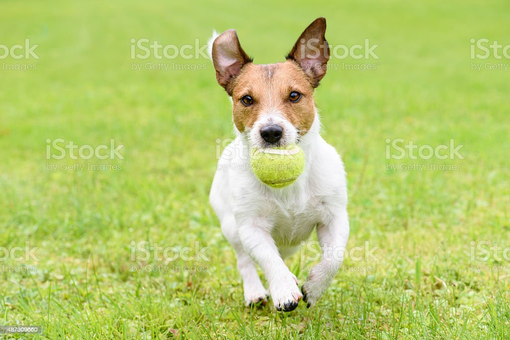 Dog with funny ears running with ball stock photo