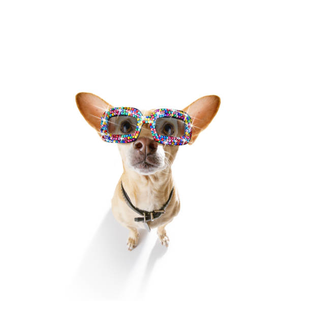 dog with funny   fancy  sunglasses stock photo