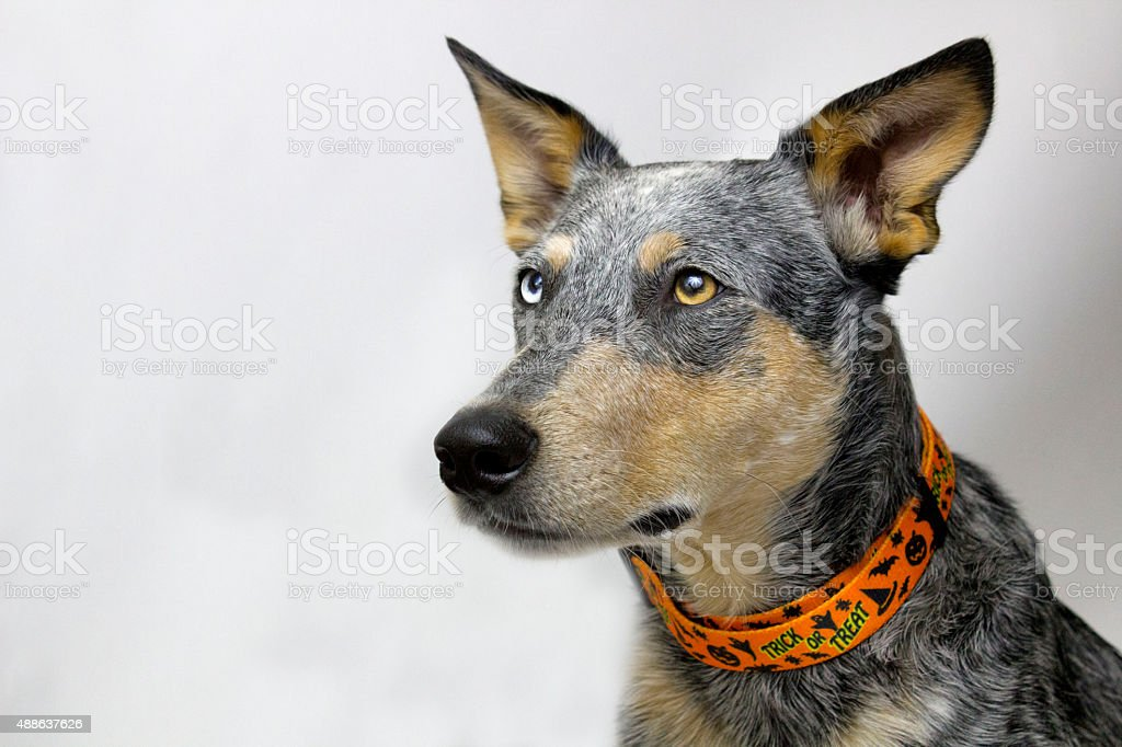 Dog with Halloween Collar stock photo