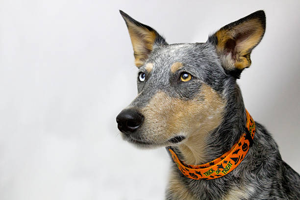 Dog with Halloween Collar stock photo