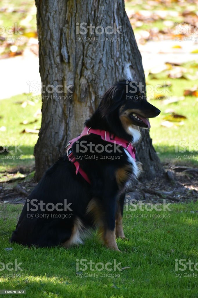 Dog with Harness in a Park stock photo