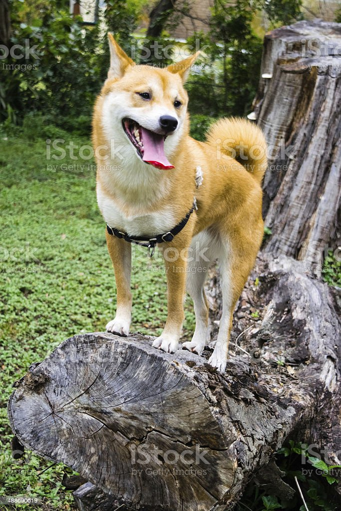 Dog with harness outdoors stock photo