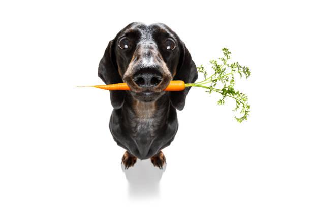 Hund mit gesunder veganer Karotte im Mund – Foto