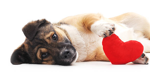 Dog with heart. The dog holds in paws heart. animal valentine stock pictures, royalty-free photos & images