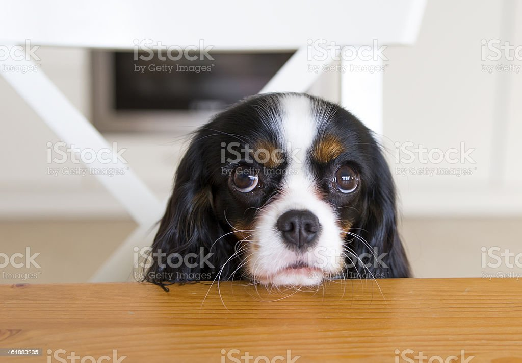 A dog with his head on table begging for food stock photo