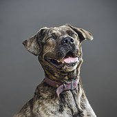 Close up portrait of big pitbull dog laughing against gray background. Pitbull dog with human expression. Sharp focus on eyes. Square studio portrait.