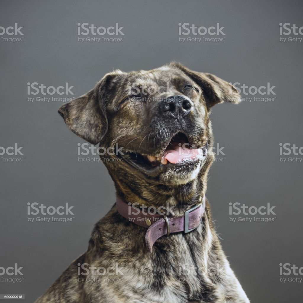Dog with human expression stock photo
