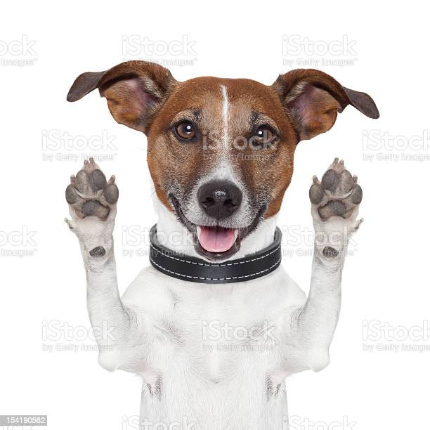 Dog with its paws up giving a high five picture id154190582?b=1&k=6&m=154190582&s=612x612&h=ixnhelvmyl84jwopkzbcurdllcikp3 5dxyx8hjmzvq=
