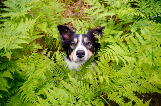 dog with leafs Dog face sticking out of leafs. sheepdog stock pictures, royalty-free photos & images