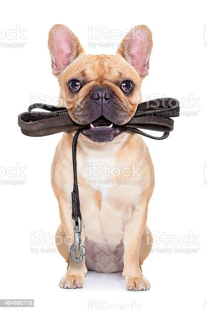 Dog with leash in mouth ready to go for a walk picture id464695776?b=1&k=6&m=464695776&s=612x612&h=umrxc8p3pbc9prfrzygrqrrsku9zwgtsryoxu3dwc7c=
