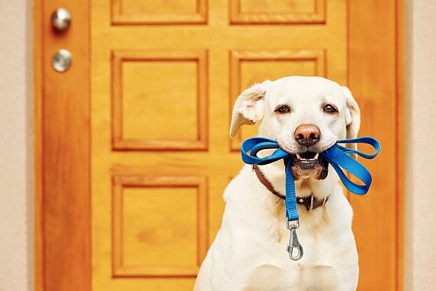 Dog with leash Labrador retriever with leash is waiting for walk animal mouth stock pictures, royalty-free photos & images